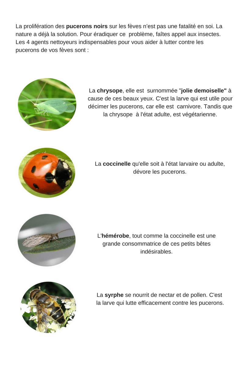 Des insectes qui aident à lutter contre les pucerons sur les fèves