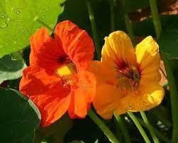 Une fleur comestible comme par exemple la capucine