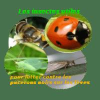 Des insectes qui aident à lutter contre la prolifération des pucerons noirs sur les fèves
